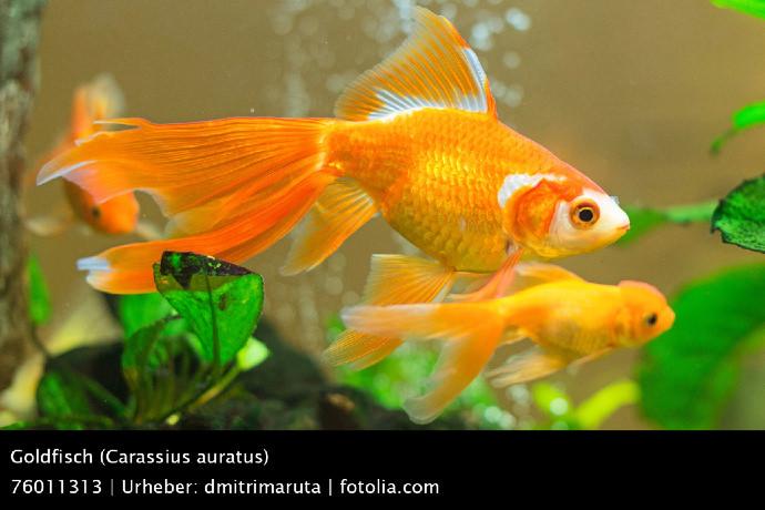 Die 8 Beliebtesten Fischarten In Deutschlands Gartenteichen