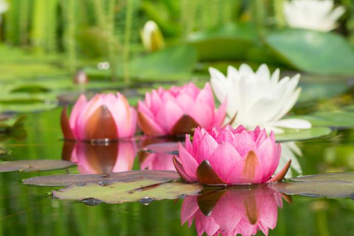 Seerose auf Teich