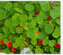 Kapuzinerkresse: essbarer Sichtschutz mit rötlichen Blüten.