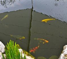 Koi Fische im Gartenteich unter Sonnensegel